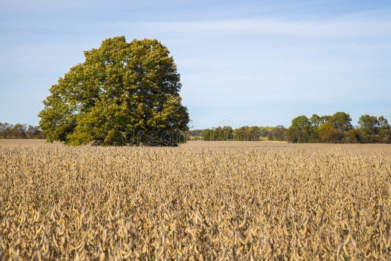 Um campo de exploração agrícola de Missouri dos feijões de soja imagem de stock royalty free