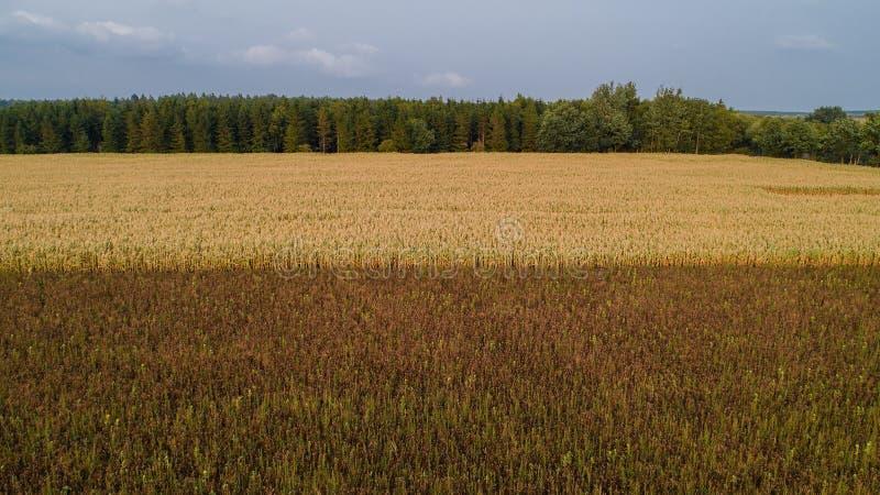 Um campo de milho é afetado pela seca da seca foto de stock royalty free