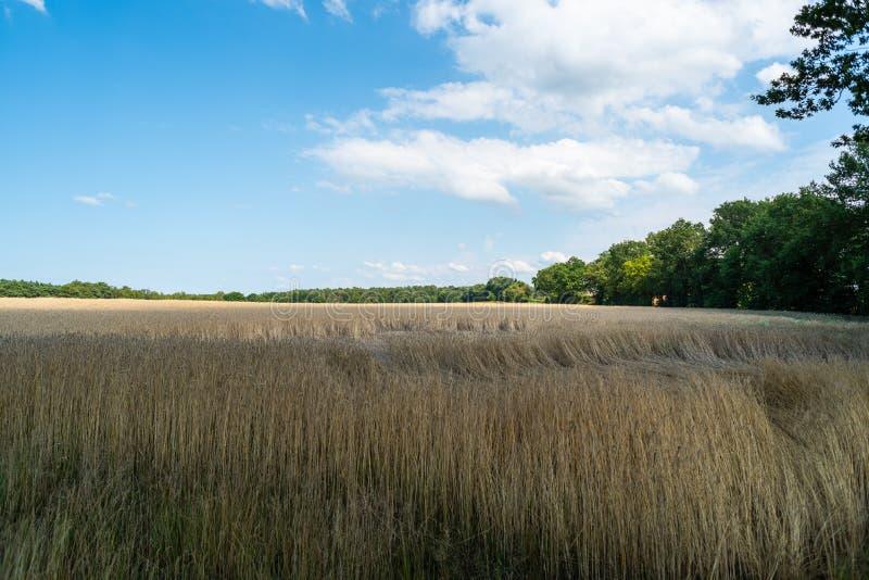 Um campo de milho de brilho com céu azul e as nuvens claras imagens de stock