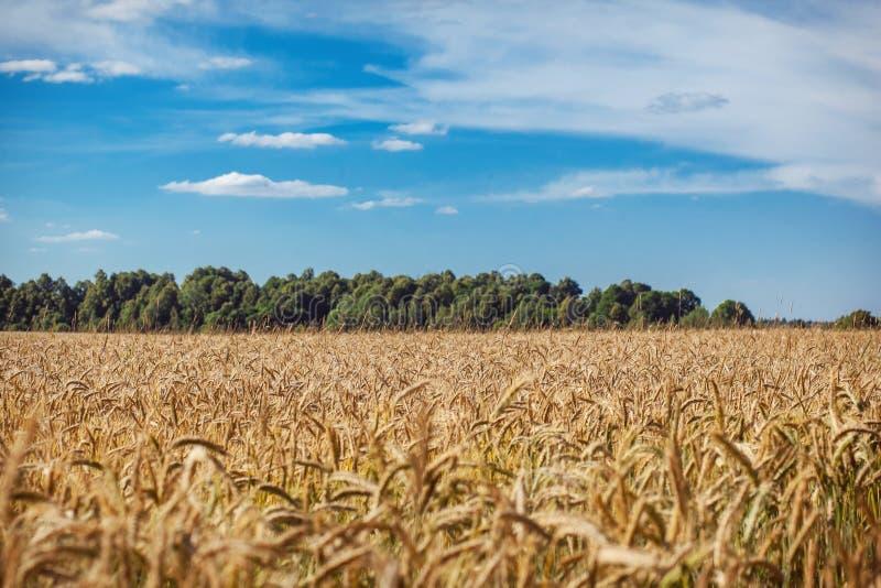 Um campo de trigo fotografia de stock royalty free