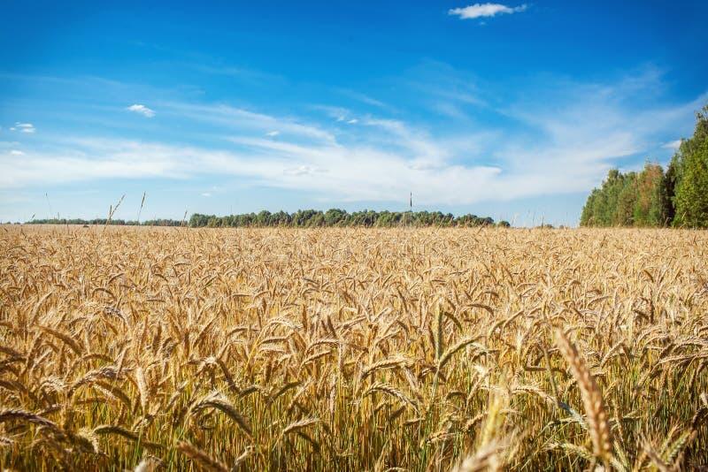 Um campo de trigo imagens de stock royalty free