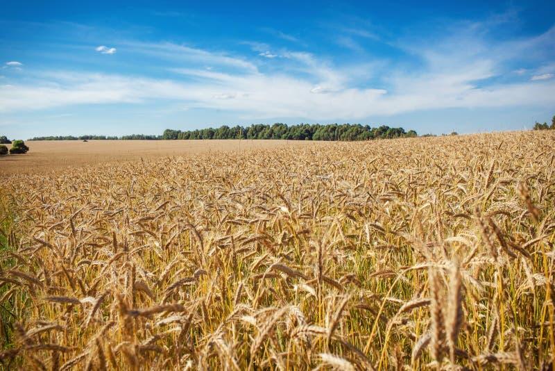 Um campo de trigo foto de stock royalty free