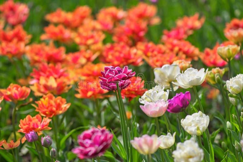 Um campo de tulipas lilás e brancas em um dia ensolarado mola do conceito imagens de stock