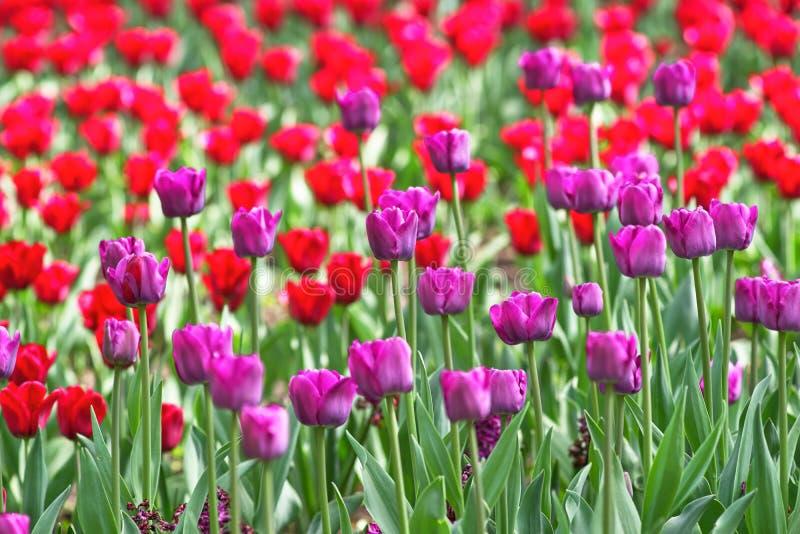 Um campo de tulipas lilás e vermelhas em um dia ensolarado mola do conceito foto de stock royalty free