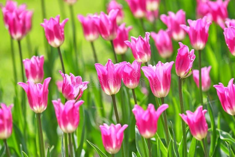 Um campo de tulipas lil?s em um dia ensolarado Senhorita Elegance Concept Spring da variedade da tulipa imagem de stock