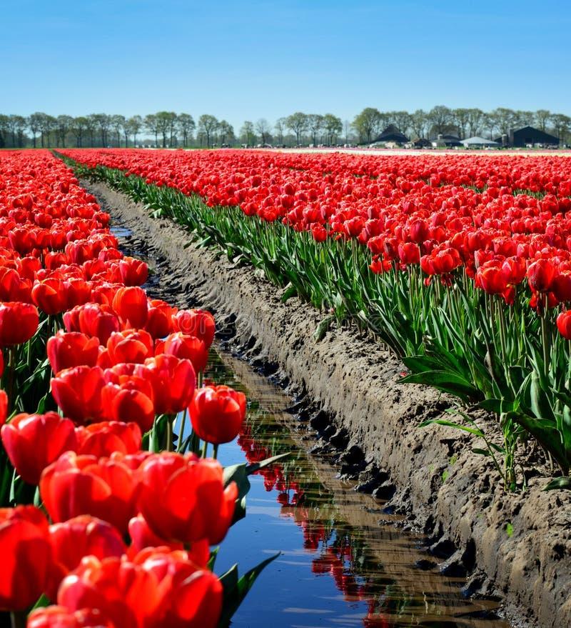 Um campo de tulipas vermelhas imagens de stock