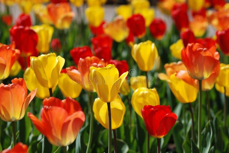 Um campo de tulipas vermelhas e amarelas na primavera fotos de stock royalty free