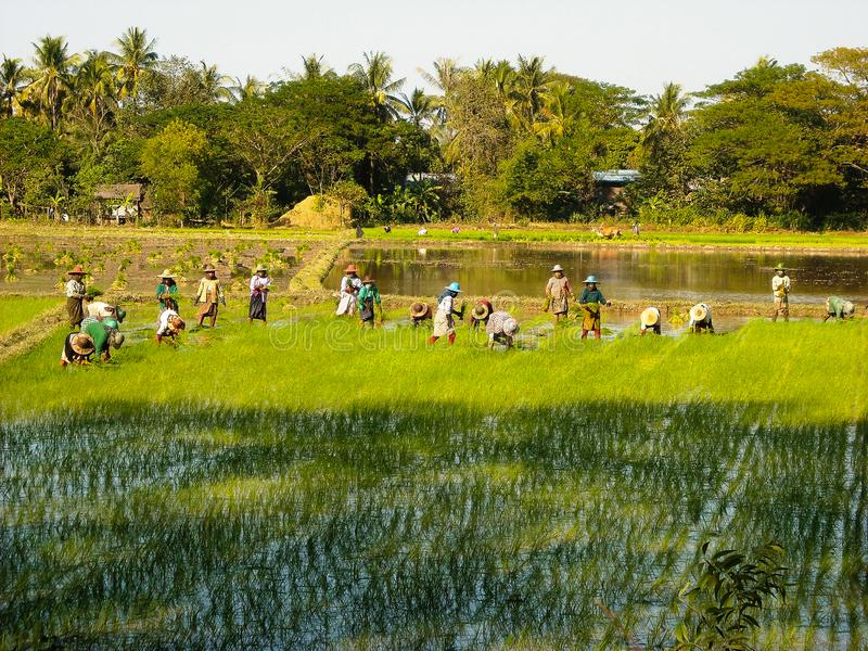 Um campo do arroz com fazendeiros foto de stock royalty free