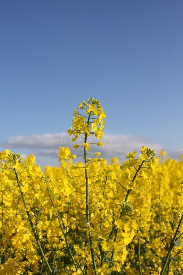Um campo do rapeseed amarelo fotografia de stock