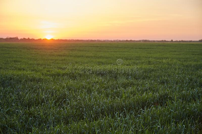 Um campo do trigo, do centeio e da cevada verdes no por do sol Boa colheita fotos de stock royalty free
