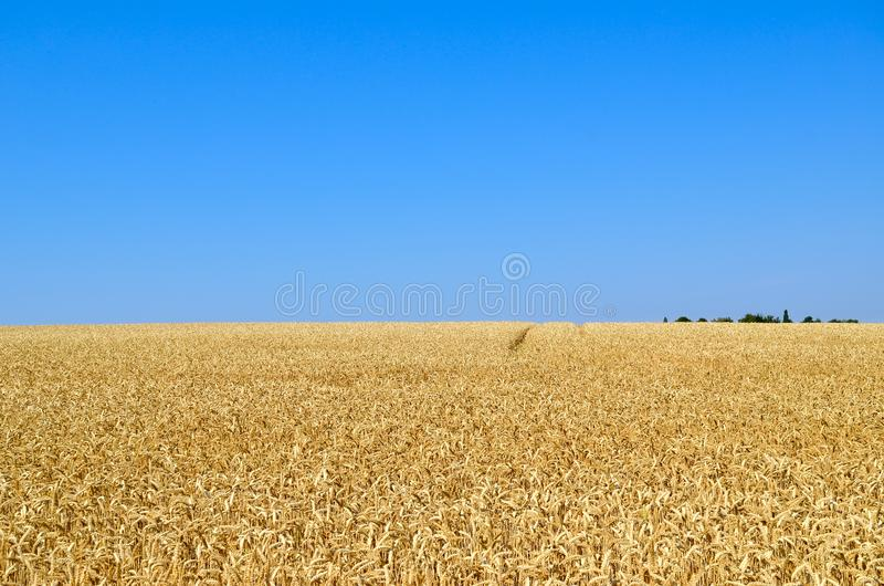 Um campo do trigo maduro contra o céu azul imagens de stock