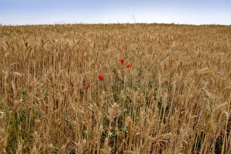Um campo do trigo maduro dourado com flores vermelhas e as ervas daninhas verdes entre as orelhas imagens de stock royalty free