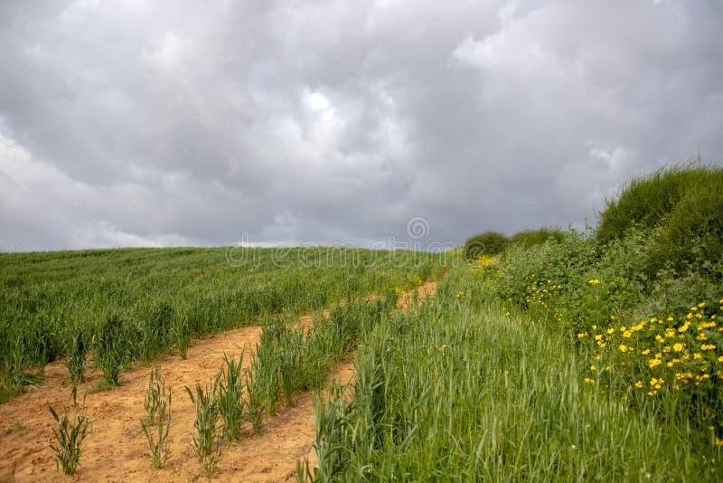 Um campo do trigo verde contra o contexto de um céu tormentoso Flores e arbustos amarelos laterais imagens de stock