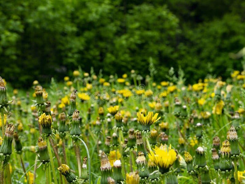 Um campo dos dentes-de-leão em um parque suburbano perto da floresta fotos de stock royalty free