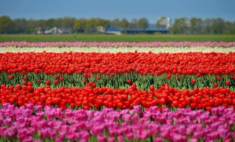 Um campo dos tulips foto de stock