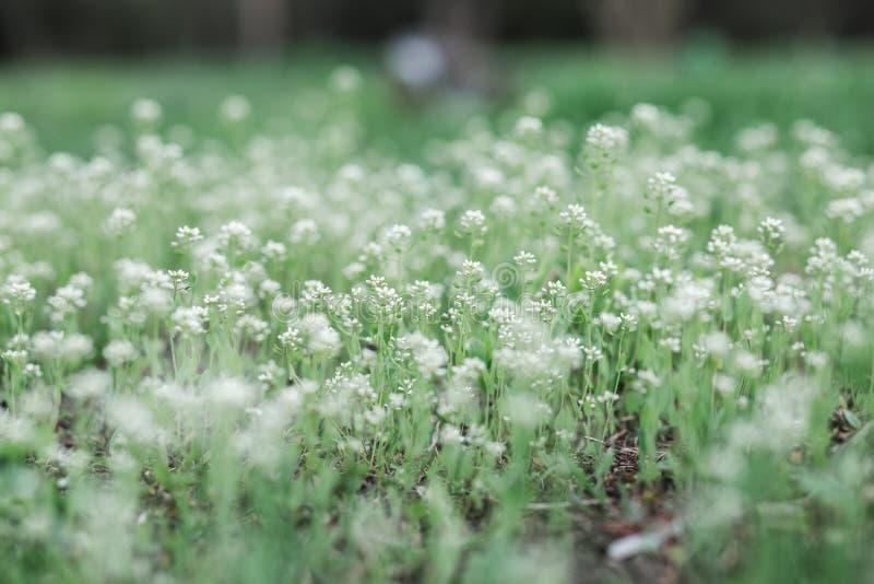 Um campo verde com wildflowers brancos, flores da mola fotografia de stock royalty free