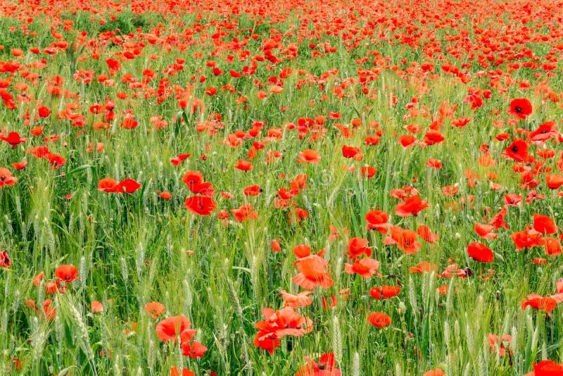 Um campo verde das papoilas foto de stock royalty free