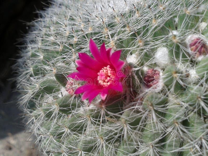 Um canctus da flor fotografia de stock royalty free