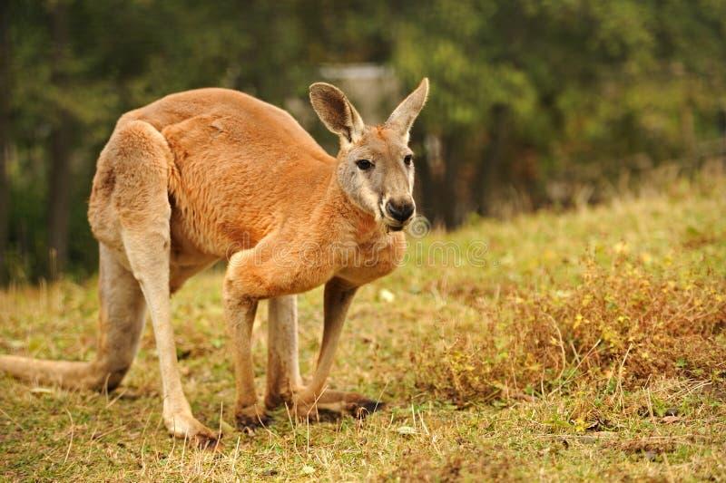 Um canguru fotografia de stock