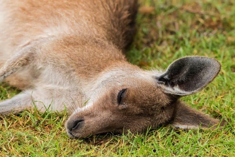Um canguru do sono imagens de stock royalty free