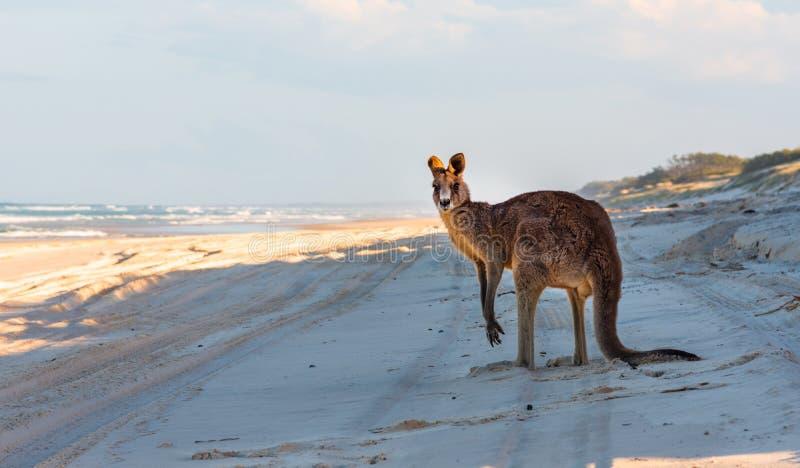 Um canguru em uma praia imagem de stock