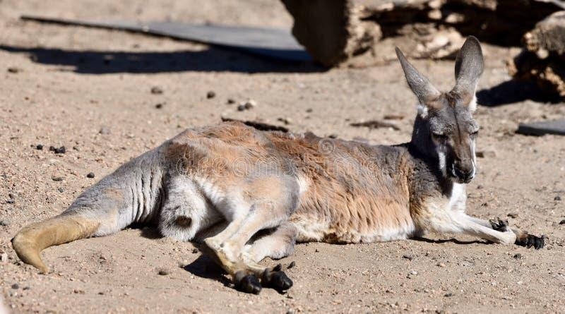 Um canguru vermelho fotografia de stock royalty free