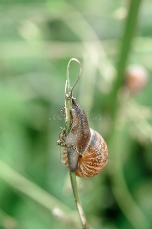 Um caracol na haste da grama Humor, natureza e insetos do verão imagens de stock