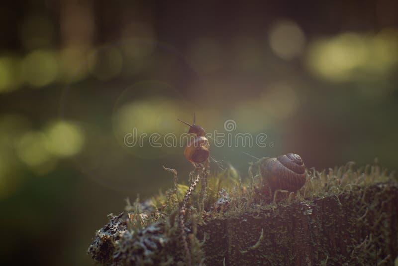 Um caracol pequeno escalou um galho vertical em uma floresta escura e em olhares afastado, brilho brilhante dos raios do ` s do s fotografia de stock