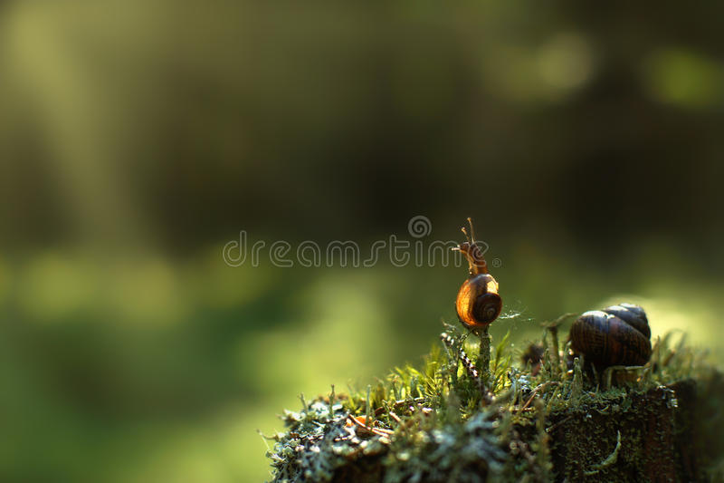 Um caracol pequeno escalou um galho vertical na floresta e olha remoto, é iluminado pelos raios do ` s do sol, espaço da cópia pa imagens de stock royalty free