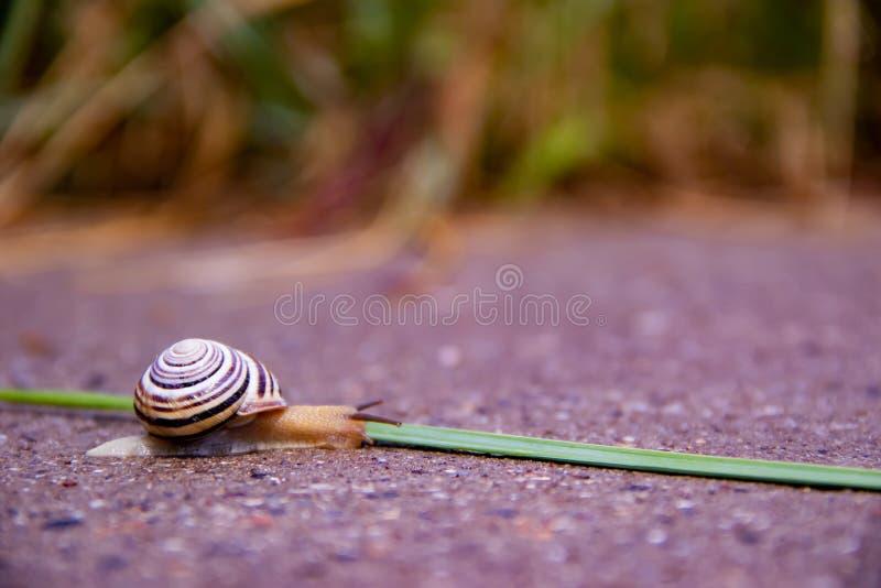 Um caracol só rasteja ao longo de uma estrada perto de uma grama verde fotos de stock royalty free