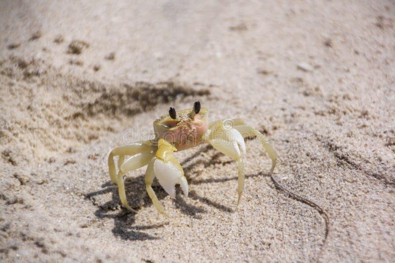 Um caranguejo amarelo pequeno senta-se na areia Caranguejo no tema da praia, do curso e das férias foto de stock