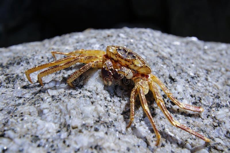 Um caranguejo da maca na rocha fotos de stock royalty free