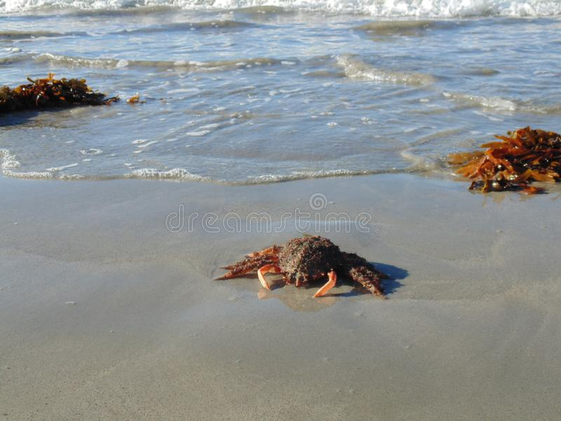 Um caranguejo de aranha na praia 4 imagem de stock royalty free