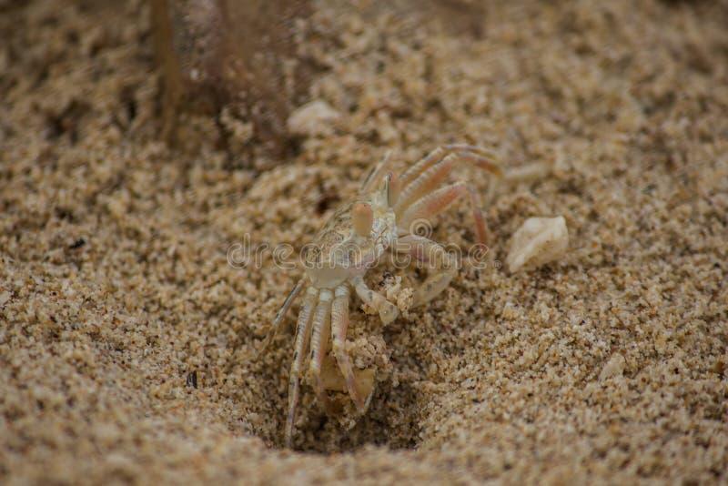Um caranguejo pequeno na areia imagens de stock