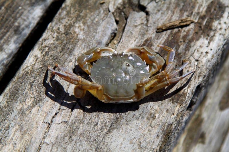 Um caranguejo pequeno no cais fotografia de stock royalty free