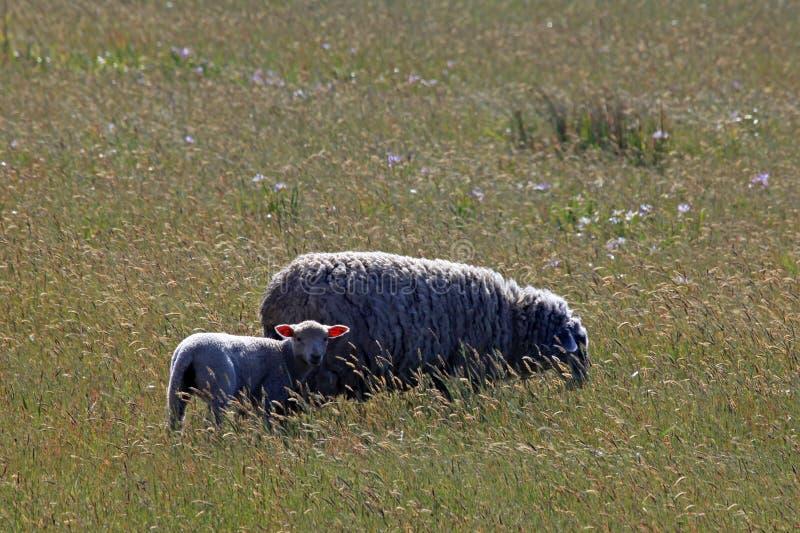 Um carneiro adulto com seu cordeiro imagem de stock royalty free