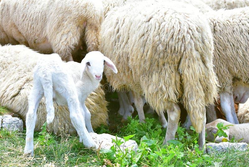 Um carneiro bonito branco novo do bebê imagens de stock royalty free