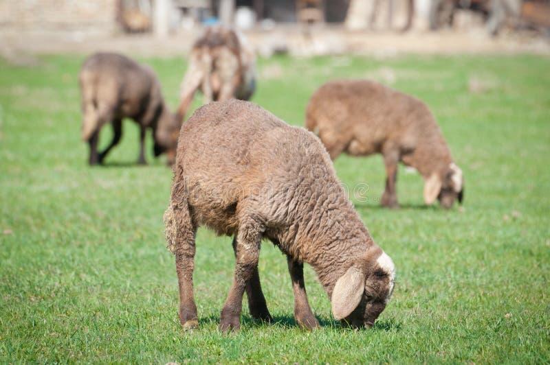Um carneiro com os cordeiros pequenos bonitos no prado imagem de stock royalty free