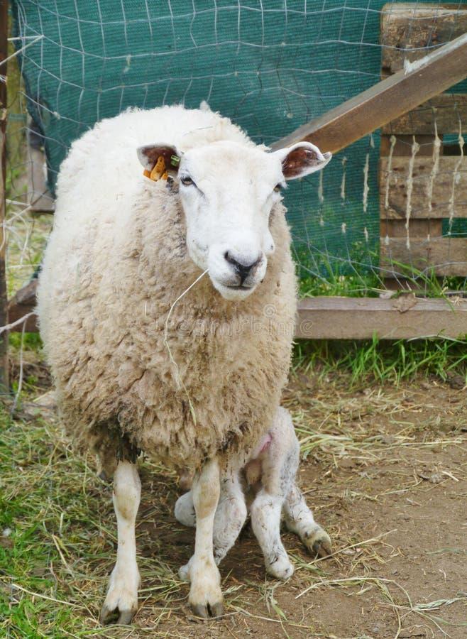 Um carneiro com um cordeiro imagem de stock royalty free