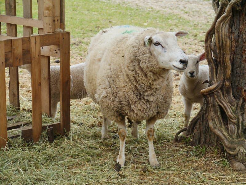 Um carneiro da mãe com suas crianças imagens de stock