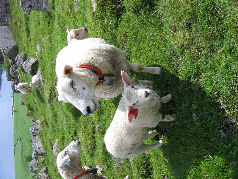 Um carneiro da matriz e um cordeiro imagem de stock