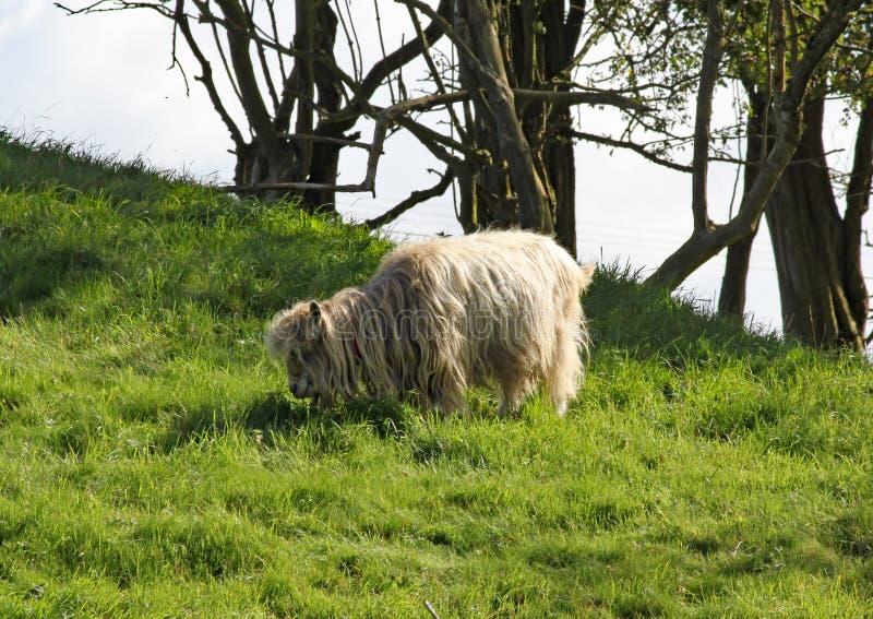 Um carneiro de cabelos compridos pasta na grama verde luxúria imagens de stock