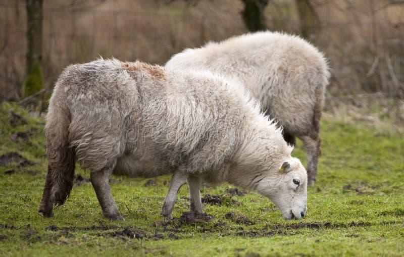 Um carneiro de Galês na chuva imagem de stock royalty free