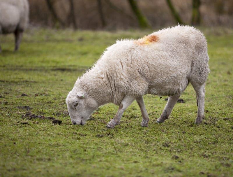 Um carneiro de Galês na chuva imagens de stock royalty free