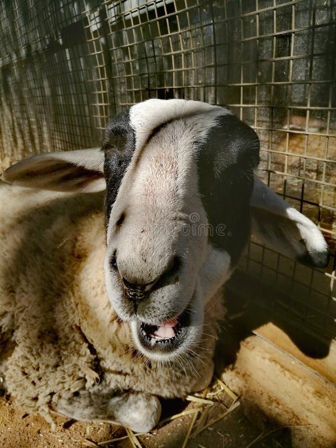 Um carneiro de sorriso imagens de stock royalty free