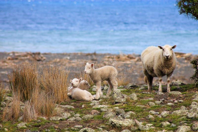 Um carneiro e cordeiros imagem de stock royalty free