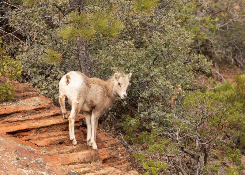 Um carneiro horned grande do deserto novo que contempla um salto de uma borda alta do arenito vermelho imagens de stock