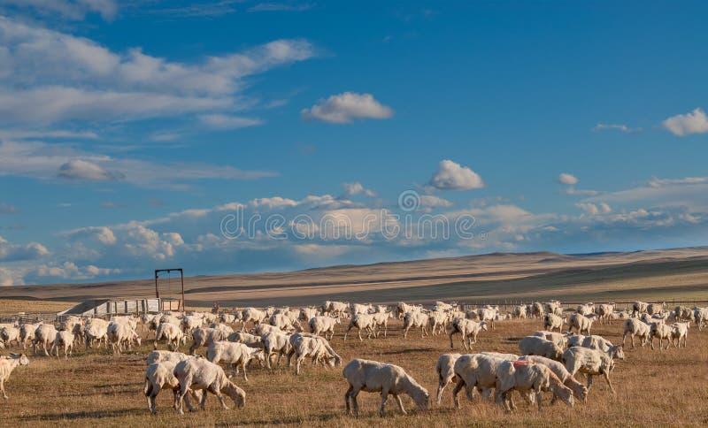 Um carneiro ouvido no Patagonia imagem de stock royalty free