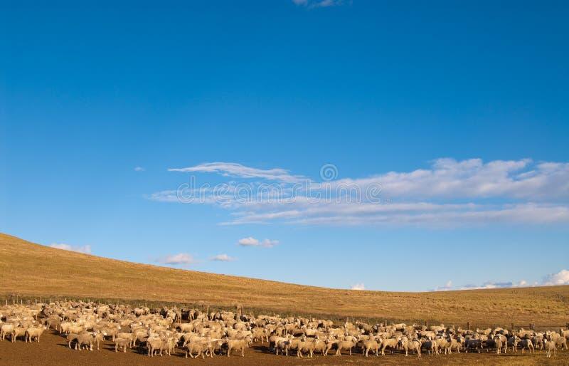 Um carneiro ouvido no Patagonia imagens de stock