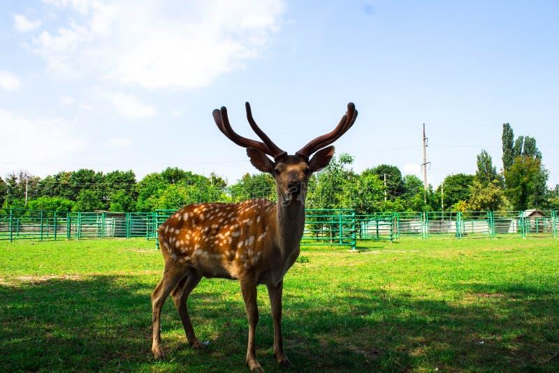 Um caro manchado bonito no jardim zoológico imagem de stock royalty free
